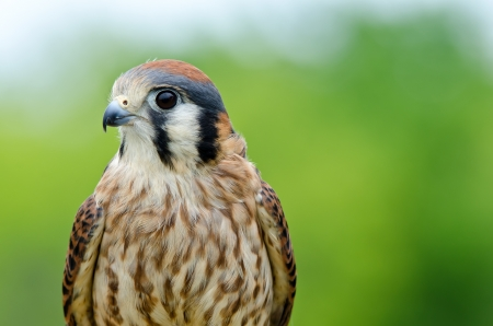 sparrowhawk: Portrait of American Kestrel (Falco sparverius), the smallest falcon in North America, copy space