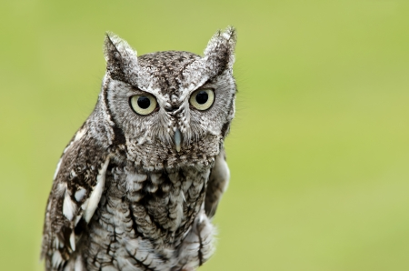 megascops: Portrait of Eastern Screech Owl (Megascops asio), on smooth green background. Copy space.