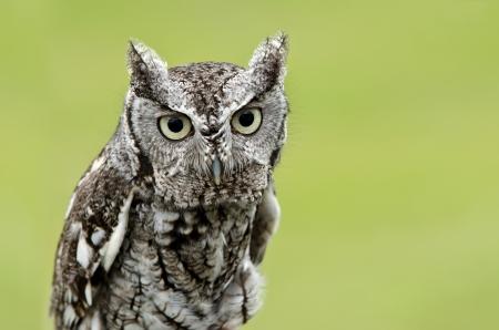 megascops: Portrait of Eastern Screech Owl (Megascops asio), on smooth green background. Copy space.