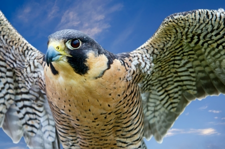 falco peregrinus: Peregrine Falcon (Falco peregrinus), aka Duck Hawk, the fastest animal on earth. Wings open against blue sky.