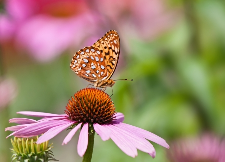 coneflowers: Fritillary butterfly feeding on pink coneflowers Stock Photo