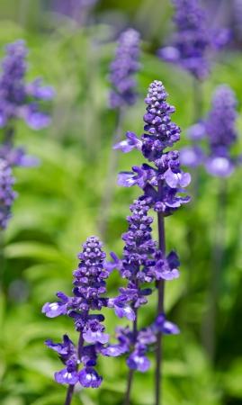 salvia: Blue Salvia (salvia farinacea) flowers blooming in the garden