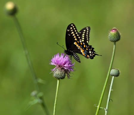 Black Swallowtail butterfly (Papilio polyxenes) feeding on Thistle flower photo