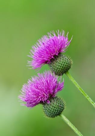 Thistle wildflowers against soft green background Stock Photo