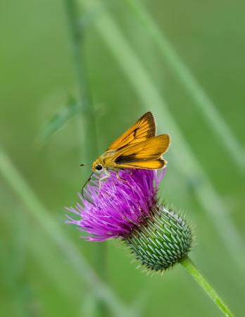 skipper: Skipper butterfly feeding on Thistle wildflowers. Soft green background.