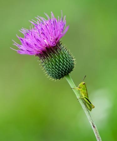 엉겅퀴 야생화 줄기에 앉아 젊은, 작은 메뚜기. 부드러운 녹색 배경입니다.