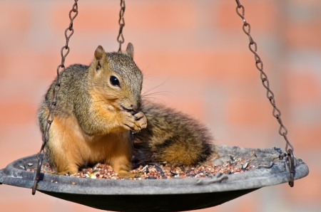 bird feeder: Young Fox squirrel (Sciurus niger) sitting on bird feeder and eating seeds Stock Photo