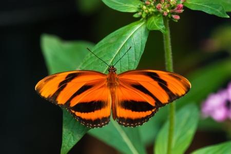 dorsal: Bandas Orange mariposa (Dryadula phaetusa) se alza sobre una hoja. Vista dorsal.