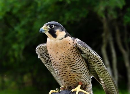 falco peregrinus: Peregrine Falcon (Falco peregrinus), aka Duck Hawk, the fastest animal on earth Stock Photo