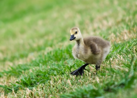 canada goose: Canada goose gosling walking on the grass