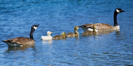 gosling: Canada Goose family with a white gosling, swimming in the lake