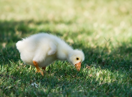 White Chinese Goose gosling eating grass
