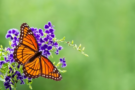 dorsal: Viceroy butterfly (Limenitis archippus) on blue flowers. Soft green background with copy space. Viceroy is often mistaken for Monarch butterfly because it resembles Monarch very closely. Stock Photo