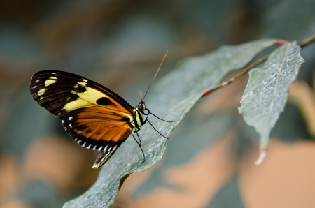 longwing: Tiger Longwing butterfly  Heliconius hecale , aka Golden Helicon, perched on a leaf