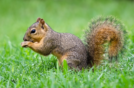 Joven oriental Fox ardilla Sciurus niger comiendo semillas de aves en el jardín Foto de archivo