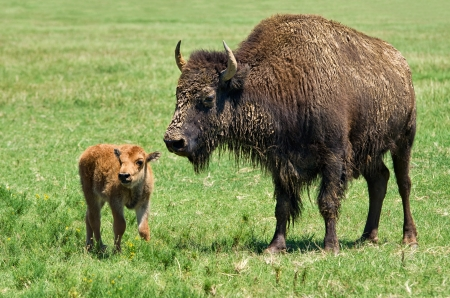 Buffalo cow and a calf on the meadow photo