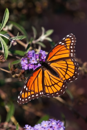 viceroy: Viceroy butterfly  Limenitis archippus  feeding on purple butterfly bush flowers  Viceroy is often mistaken for Monarch butterfly because it resembles Monarch very closely