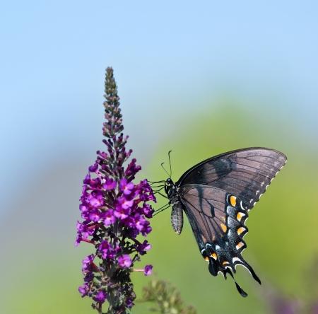 small purple flower: Eastern Tiger Swallowtail butterfly (Papilio glaucus) feeding on purple butterfly bush flowers. Copy space.