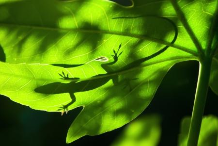 Lizard silhouette on a backlight leaf photo