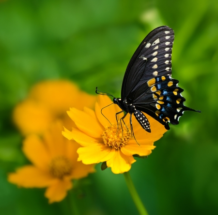 auriculata: Black Swallowtail butterfly  Papilio polyxenes  feeding on yellow Tickseed flower Stock Photo