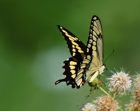 Giant Swallowtail butterfly  Papilio cresphontes  feeding on buttonbush flowers  Green soft background with copy space  photo
