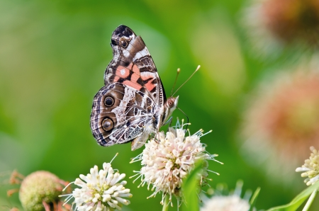 vanessa: American Painted Lady butterfly  Vanessa virginiensis  feeding on buttonbush flowers  Green soft background with copy space  Stock Photo