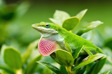 Green Anole lizard  Anolis carolinensis  showing off his bright pink dewlap Stock Photo
