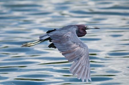 grey heron: Little Blue Heron  Egretta caerulea  in flight against blue soft lake water Stock Photo