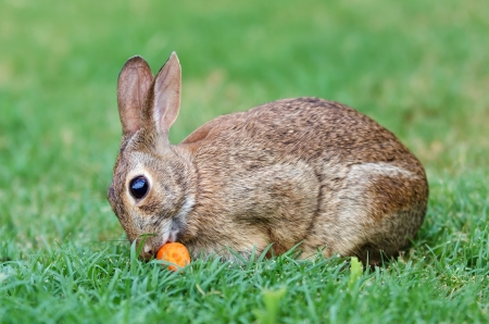 Cottontail bunny rabbit eating carrot in the garden photo