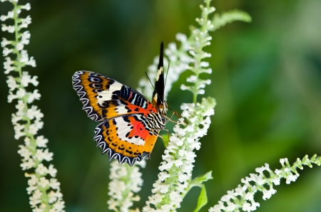 lacewing: Malay Lacewing butterfly feeding on white flowers