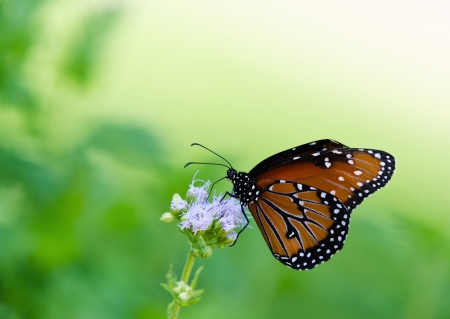 Queen butterfly (danaus gilippus) feeding on Gregg's Mist flowers. Natural green background with copy space. photo
