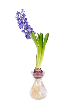forcing: Blue Hyacinth flower blooming in clear glass vase isolated over white