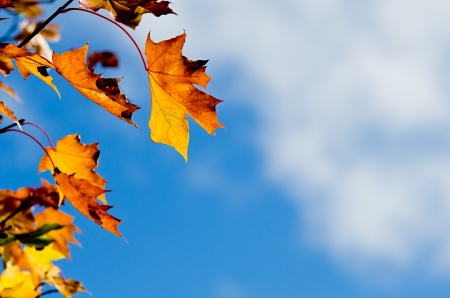 Autumn maple tree leaves on a tree branch blowing against blue sky and white clouds, copy space photo