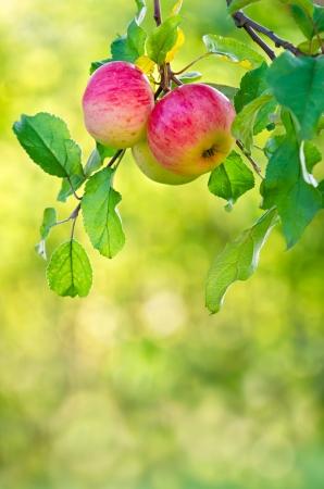 リンゴ果実、リンゴの木の枝に成長しています。自然の緑と黄色の背景。