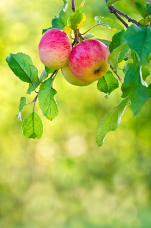 Apple fruits growing on an apple tree branch. Natural green and yellow background. photo