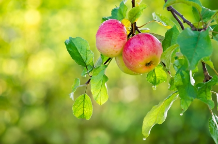 Apple fruits growing on an apple tree branch. Natural green and yellow. Stock Photo