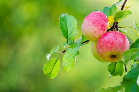 Apple fruits growing on an apple tree branch  Natural green with copy space  photo