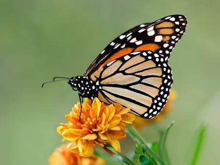 monarch butterfly: Monarch butterfly (Danaus plexippus) on orange garden flowers during autumn migration. Natural green background.
