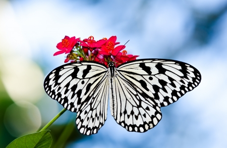 Large Tree Nymph butterfly (Idea leuconoe)is a large tropical butterfly from Southeast Asia feeding on red flowers.
