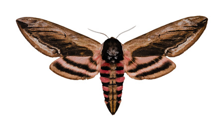 moth: Privet Hawk Moth (Sphinx ligustri) isolated over white, dorsal view