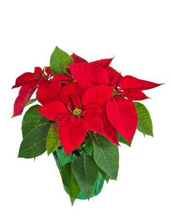 pulcherrima: Red poinsettia (Euphorbia pulcherrima) in a flower pot, isolated over white background Stock Photo