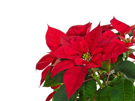 flor de pascua: Flor del poinsettia roja (Euphorbia pulcherrima) en blanco, copia espacio