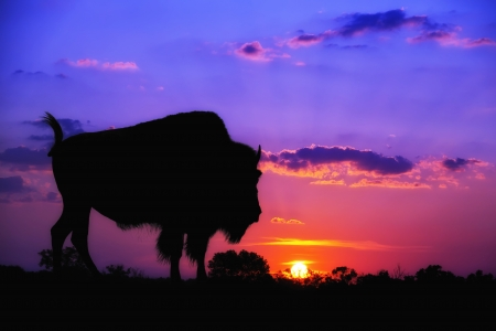 bison: American Bison Buffalo silhouette against sunrise or sunset
