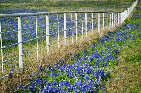 Bluebonnets, the state flower of Texas, blooming by a white fence in the spring photo