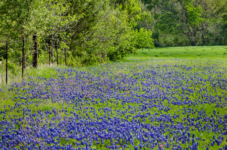 bluebonnet: Bluebonnet field blooming in the spring