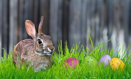 Cheerful looking Bunny and colorful Easter eggs in the grass. Copy space.