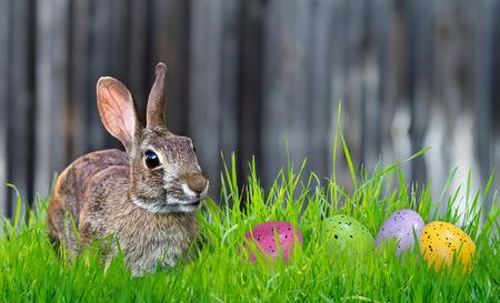 Vrolijke zoek Bunny en kleurrijke Paas eieren in het gras. Kopieer ruimte. Stockfoto