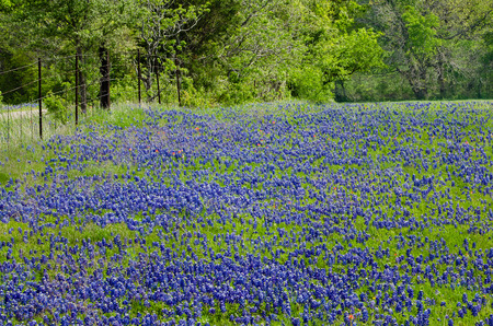bluebonnet: Texas Bluebonnets blooming in spring Stock Photo