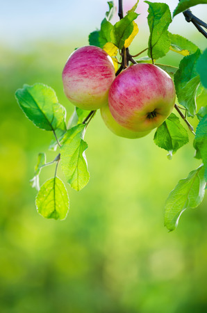 Apple fruits growing on an apple tree branch. Natural green with copy space.