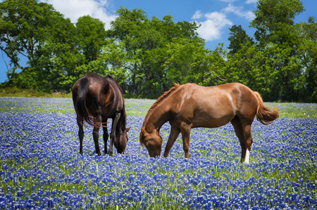 Two horses grazing in the bluebonnet pasture in Texas spring Banque d'images